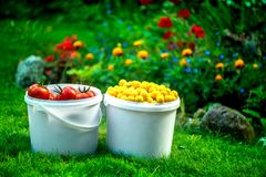 Shot of white buckets of freshly picked ripe red tomatoes and small yellow plums. Large autumn harvest. Shot of white buckets of freshly picked ripe red tomatoes Royalty Free Stock Photography