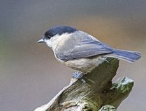 A willow tit bird perched on a tree stock photos