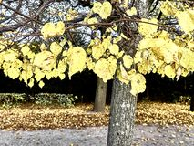 Shot of a yellow leaves tree at the park royalty free stock photo