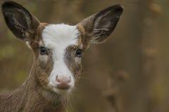Shotblurred Hintergrund des whitetail-geschecktes Rotwild-Kitzes Gesicht Lizenzfreies Stockfoto