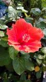 Shoue-Blume, Chinese Rose, Qween der tropischen Blume Lizenzfreies Stockbild