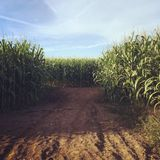 This should be interesting. Corn maze in Sunny Oregon Royalty Free Stock Photo