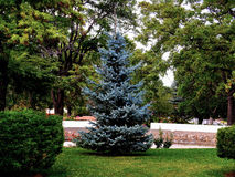 Should Have Been a Christmas Tree. This tree is a natural born Christmas Tree, but it lived in the park Stock Photos
