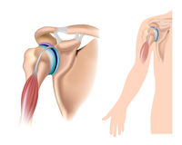 Shoulder anatomy Stock Photo