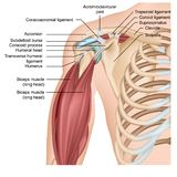 Shoulder anatomy 3d medical  illustration with arm muscles royalty free illustration