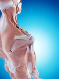 The shoulder anatomy. Medically accurate illustration of the shoulder anatomy stock photo