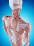 The shoulder anatomy Royalty Free Stock Photography