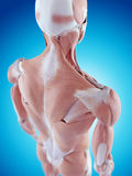 The shoulder anatomy Royalty Free Stock Photos