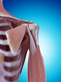 The shoulder anatomy Stock Images