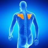 The shoulder blades. Medical illustration of the shoulder blades Stock Images