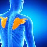 The shoulder blades. Medical illustration of the shoulder blades Royalty Free Stock Photo