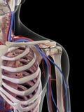 The shoulder blood supply Stock Images