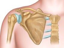 Shoulder bones anatomy Royalty Free Stock Photos