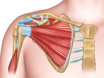 Shoulder bones and muscles Stock Image
