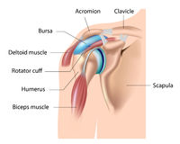 Shoulder bursa, bursitis. Main bursa of the shoulder joint, site of bursitis, eps10 Stock Image