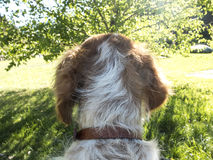 Shoulder dog. `epagneul breton` shoulders on mountain background Royalty Free Stock Images