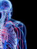 The shoulder. The human vascular system - the shoulder Royalty Free Stock Images