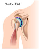 Shoulder joint. Diagram of the shoulder joint, eps8, gradient and mesh printing compatible Royalty Free Stock Images