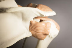 Shoulder joint meniscus model stock image