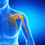 The shoulder. Medical illustration of the shoulder Royalty Free Stock Image