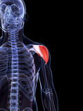 The shoulder muscle Stock Images