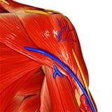 Shoulder Muscles stock illustration