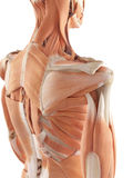 The shoulder muscles. Medical accurate illustration of the shoulder muscles Royalty Free Stock Images