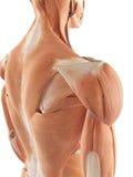 The shoulder muscles vector illustration