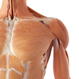 The shoulder muscles Stock Images