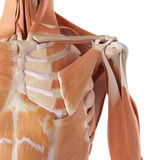 The shoulder muscles. Medical accurate illustration of the shoulder muscles Royalty Free Stock Image