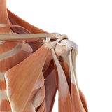The shoulder muscles. Medical accurate illustration of the shoulder muscles Stock Photography