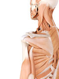 Shoulder muscles. Medically accurate anatomy illustration - shoulder muscles stock illustration