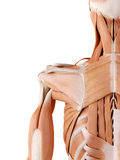 Shoulder muscles. Medically accurate anatomy illustration - shoulder muscles Stock Photos