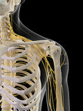 The shoulder nerves Royalty Free Stock Photos