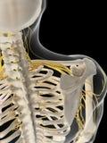 The shoulder nerves stock illustration