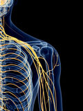 The shoulder nerves Stock Photo