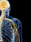 The shoulder nerves. Medically accurate illustration of the shoulder nerves Royalty Free Stock Image