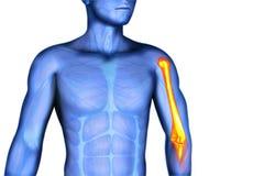Shoulder scapula clavicle. 3D illustration shoulder scapula clavicle vector illustration