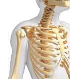 Shoulder skeleton artwork Stock Photo