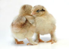 Shoulder to shoulder. A couple of newly born chickens sleeping shoulder to shoulder Stock Photos