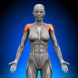 Shoulders / Deltoid - Female Anatomy. Muscles royalty free illustration