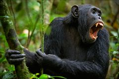 Shout. A chimpanzee, sitting in a thicket of green wood, loudly and with anxiety s Royalty Free Stock Image