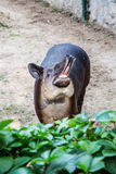 Shouted the tapir Stock Photo