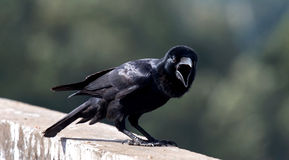 Shouting !. Crow sitting on a wall and making sound loudly.taken from Ooty,The Nilgiris, Tamil Nadu, india stock photo