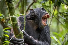 Shouting a Angry Chimpanzee. The chimpanzee (Pan troglodytes) shouts in rain forest, giving signs to the relatives. Uganda. Africa stock image
