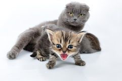 Shouting baby kitten with the family Stock Images