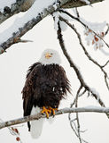 The shouting Bald eagle sits on a branch. Royalty Free Stock Image