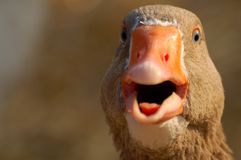 A shouting duck. A duck pictured up close and personal at the zoo Royalty Free Stock Images