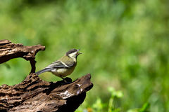 Shouting great tit on a stump Stock Images