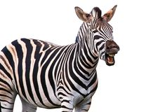 Shouting or Laughing Zebra stock images